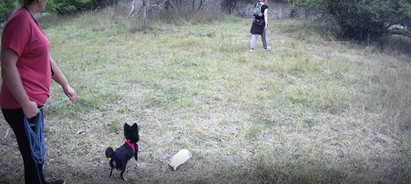 Chihuahua aveugle et sourd mantrailing simplicite canine.JPG