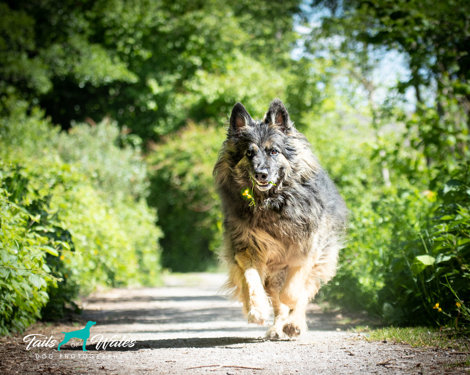 German Shephard in Wales