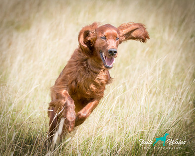 Red Setter in Wales.