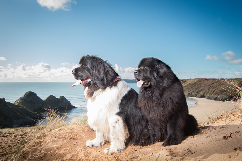 The Two Newfoundlands enjoying their photoshoot at Three Cliffs Bay.