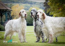 English Setters in Wales