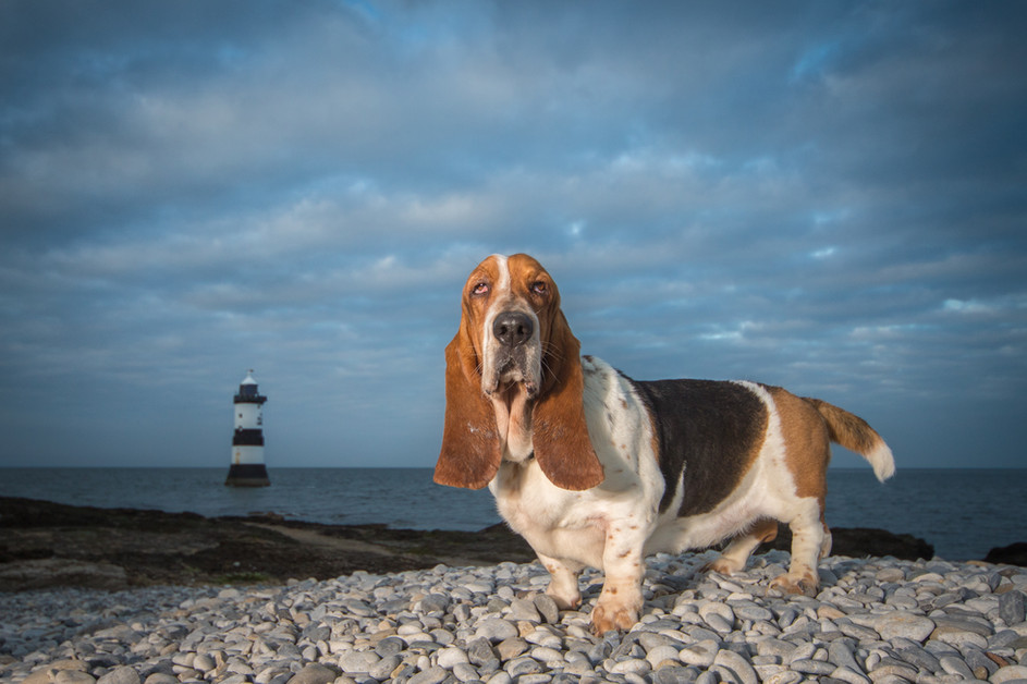 Basset Hound Dog Photography.