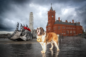 St Bernard Dog Photography.