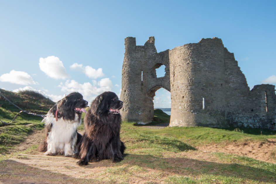 Newfoundland Dog Photography