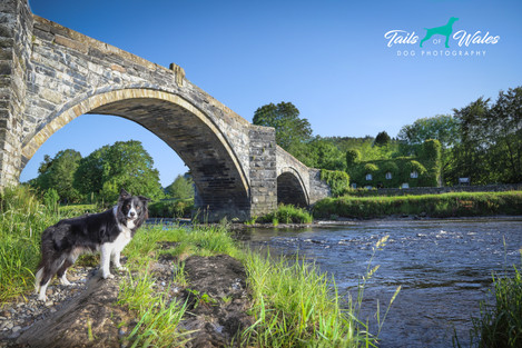 Welsh Collie, Dog Photography