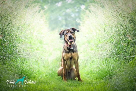 Collie, Dog Photography in Pontypridd.