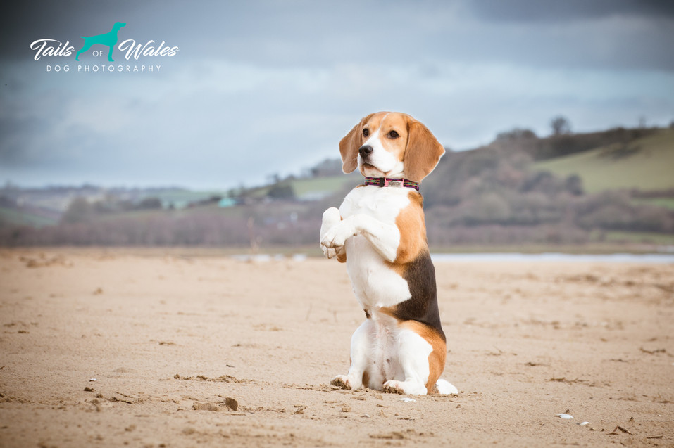 Dog Photography in Wales