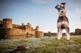 Schnauzer at Caerphilly Castle