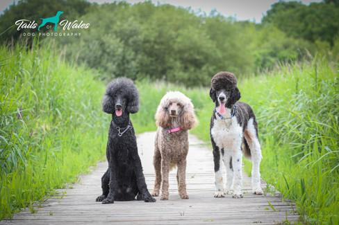 Standard Poodles Dog Photography.