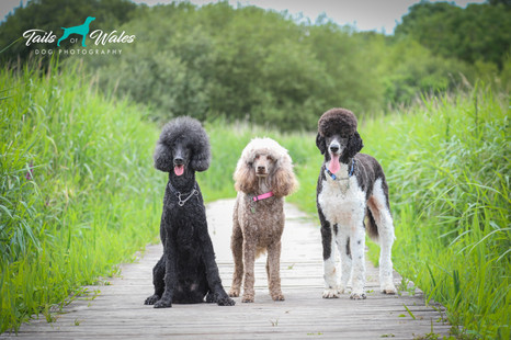 Standard Poodles Dog Photography.