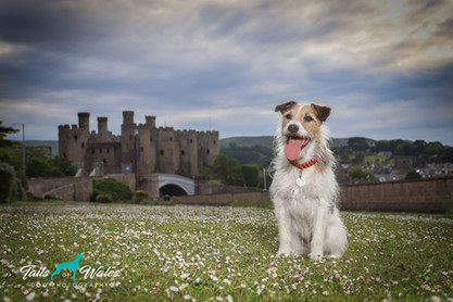 Mr Bojangles at Conway Castle.