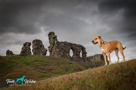 Dog Photography in North Wales.