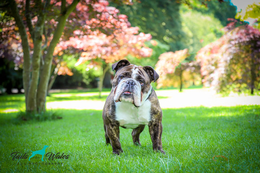 Bulldog Dog Photography