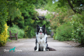 Collie Dog Wales