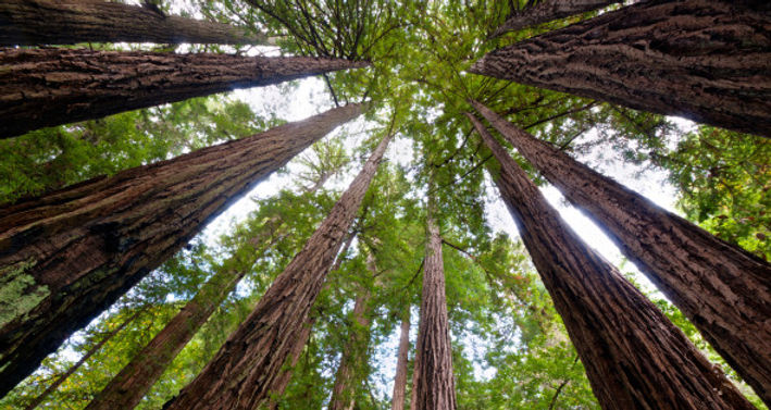 n-REDWOOD-TREES-628x314.jpg