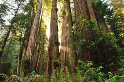 redwood-FOREST