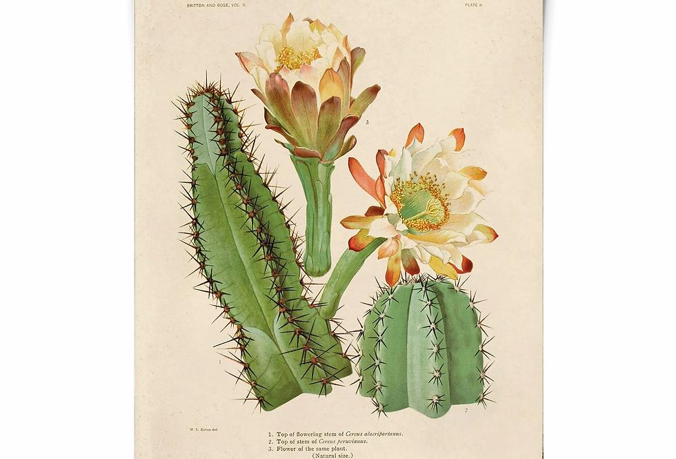 DESERT ROSE botanical print/