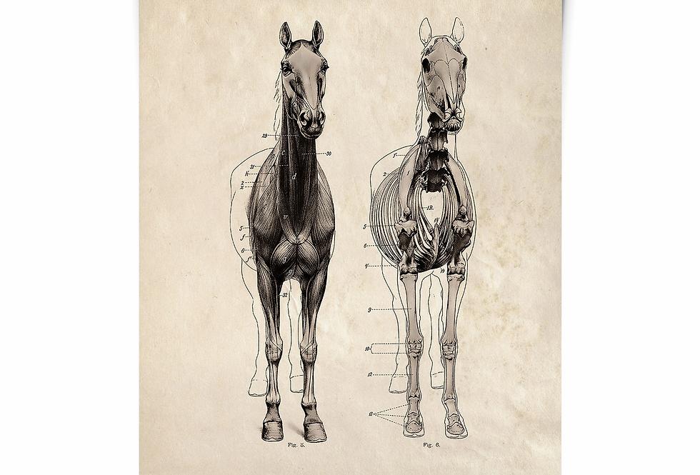 HORSE anatomy print/