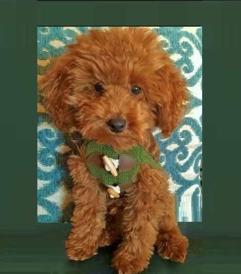 roux toy poodle .jpg