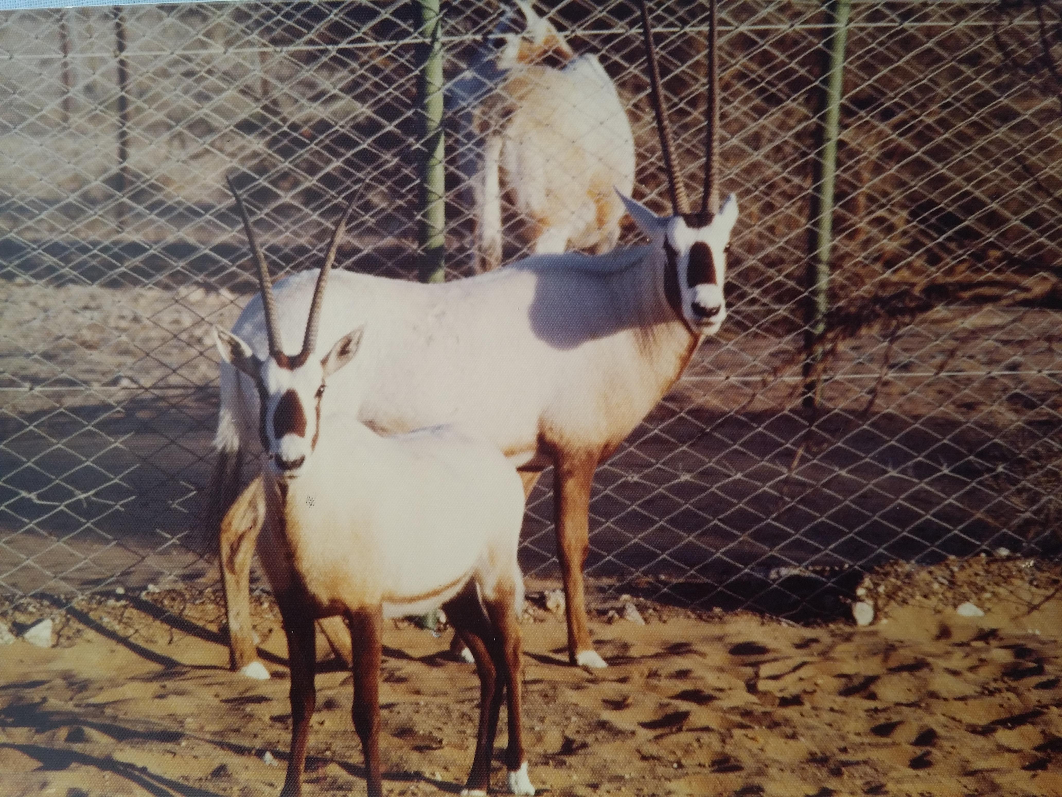 Oryx breeding program Abu Dabi