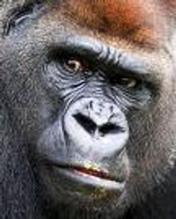 Chris Furley - Gorilla portrait