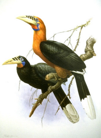 w13-Rufous-Necked_Hornbill.jpg