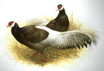 w8-Brown_Eared_Pheasant.jpg