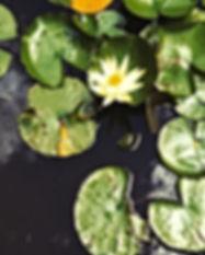 Lotus à Sainte Foy ph. Angela Gentile