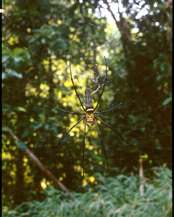 KaoSok.spider