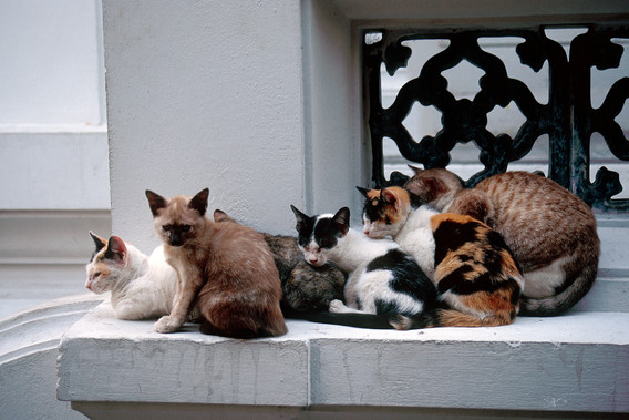 BKKtemplecats