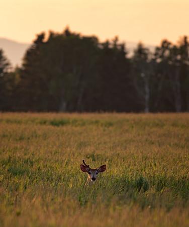 Cerf de virgine / White-tailed deer