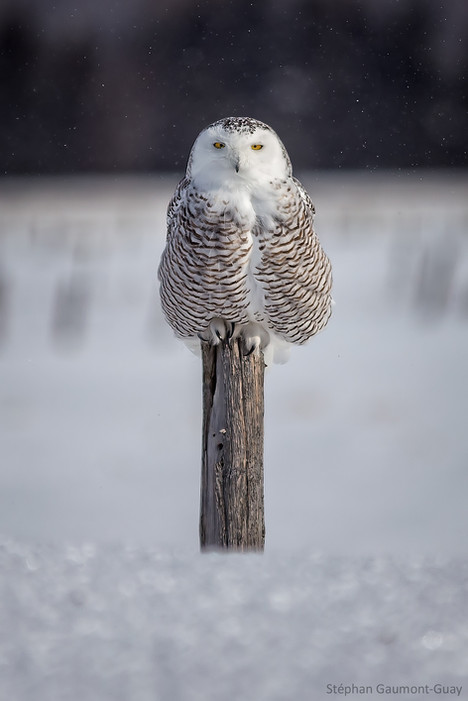 Harfang-des-neiges / Snowy Owl