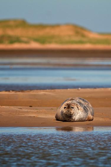 Phoque du Groenland / Harp Seal