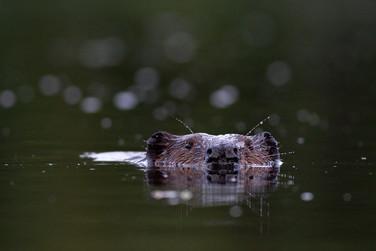 Castor / Beaver