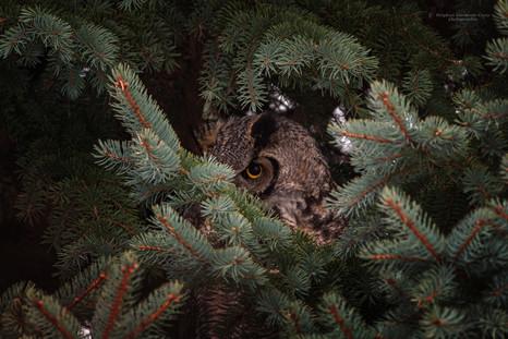Grand-duc d'Amérique / Great-horned Owl