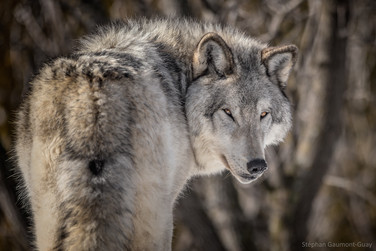 Loup gris / Grey Wolf