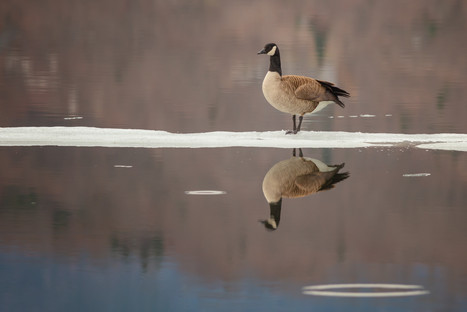 Bernache / Canada Goose