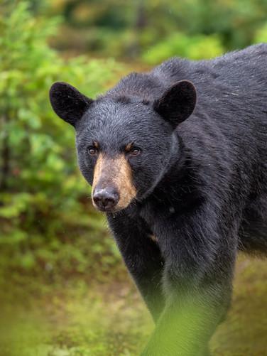 Ours noir / Black bear