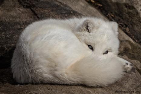 Renard arctique / Arctic Fox