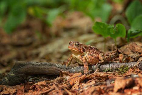 Crapaud / Toad