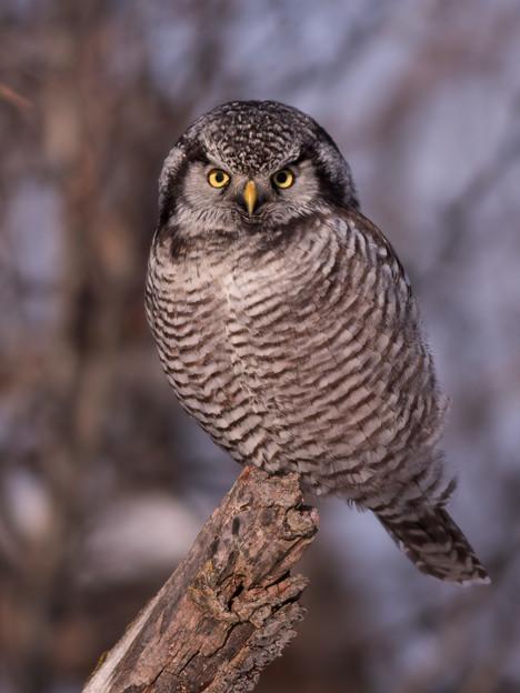 Chouette épervière / Northern hawk-owl