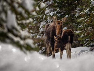 Orignaux / Moose