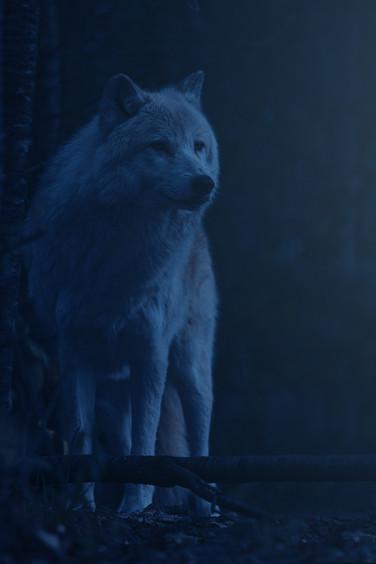 Loup arctique / Arctic wolf