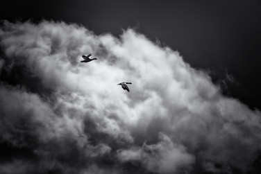 Oies des nieges / Snow geese