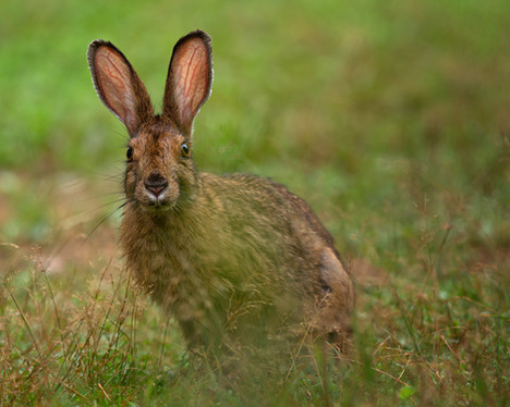 Lièvre / Hare
