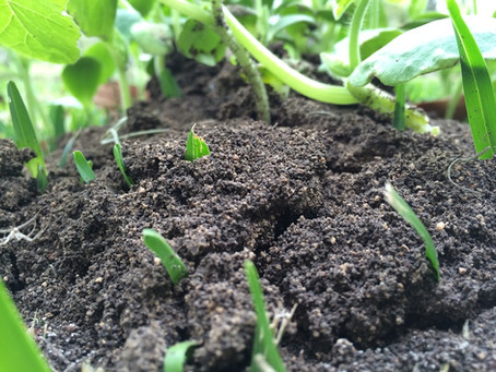 Why Fulvic Acid to Facilitate a Healthier, More Extensive, Root System Through Soil Fertility