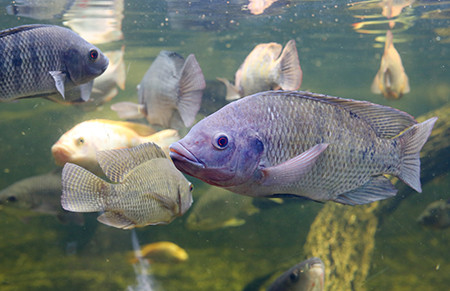 Maximize Growth in Aquaculture or Aquaponic Systems