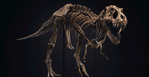 If you thought that gorilla was big... Check out STAN the T. Rex