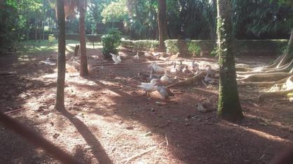 Gansos são transferidos de bairro para Parque Ecológico