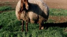 ¿La Navidad no podía ser en diciembre porque los pastores tendrían frío? Un mito en revisión